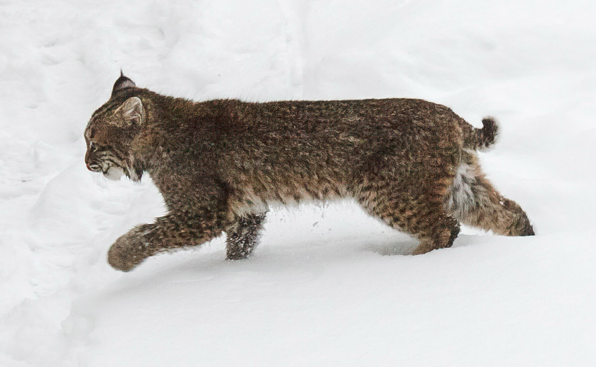 Bobcat in Winter 2
