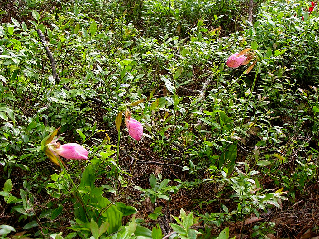 Pink Lady Slippers